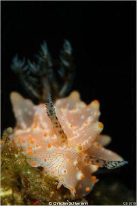 Nudi (Halgerda malesso) in the Lembeh Street. 105mm macro. by Christian Schlamann